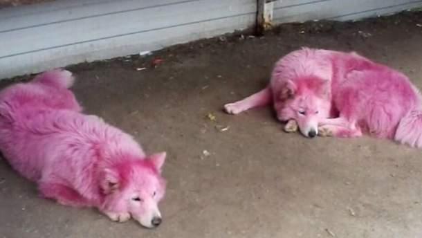 Шерсть собак окрашена в розовый цвет