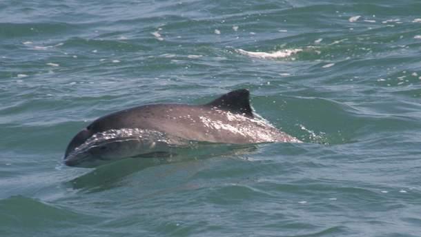 Дельфіни у Чорному морі можуть загинути через військові навчання Росії