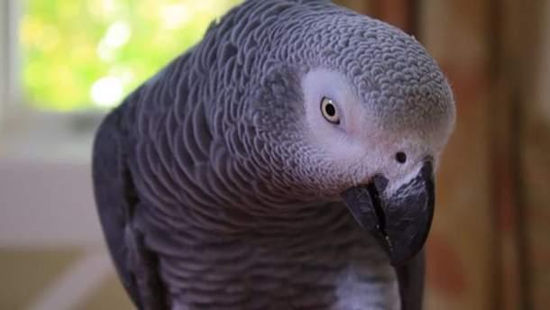 Папуга жако