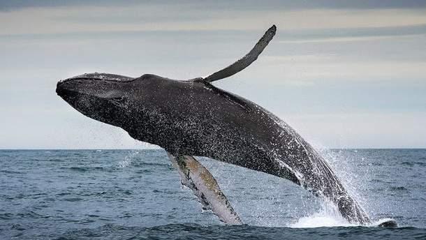 Аквалангист снял зрелищный прыжок 40-тонного кита: видео