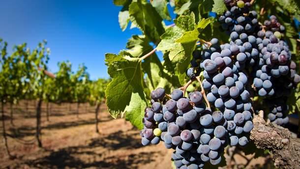 Виноградники зникають