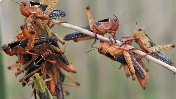 Российские ученые предложили способ массового уничтожения саранчи