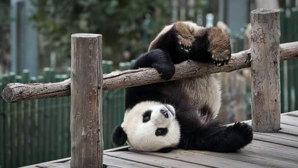 Панда упала