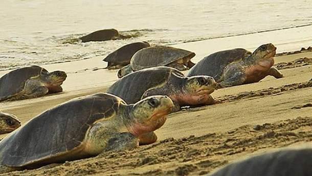 Оливкові черепахи