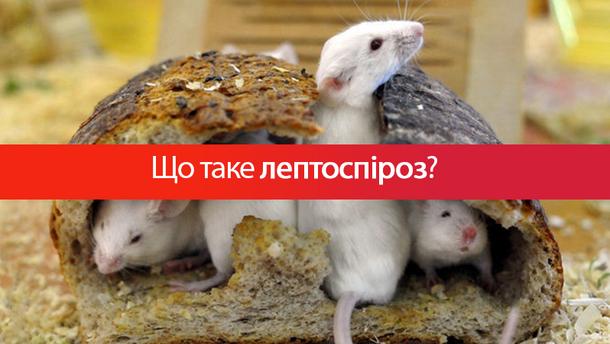 Крысы являются источником лептоспироза