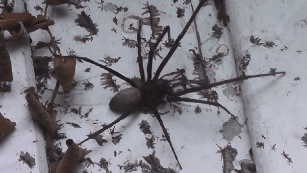 Павук-мутант
