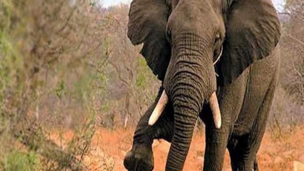 Слон затоптал мужчину