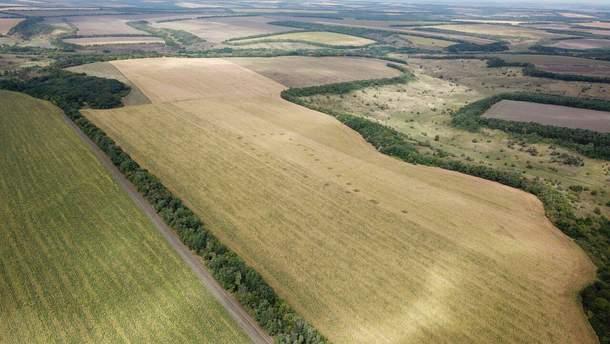 Марихуана среди кукурузы