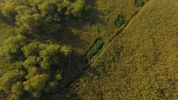 Высадку конопли маскируют в полях