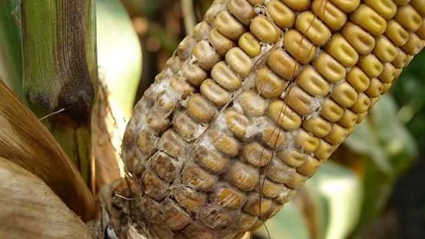 Диплодіоз кукурудзи
