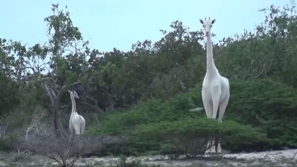 Білі жирафи в Кенії
