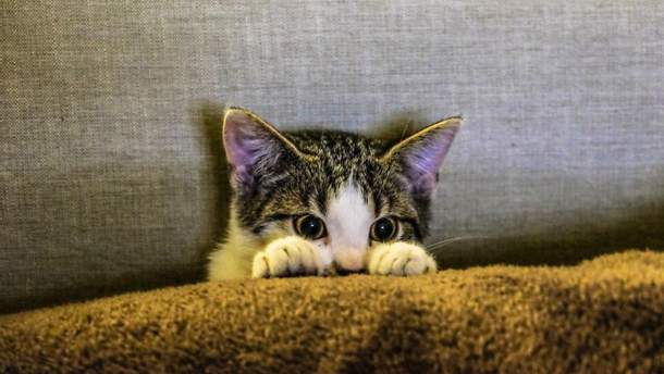 Кошки могут заразить человека