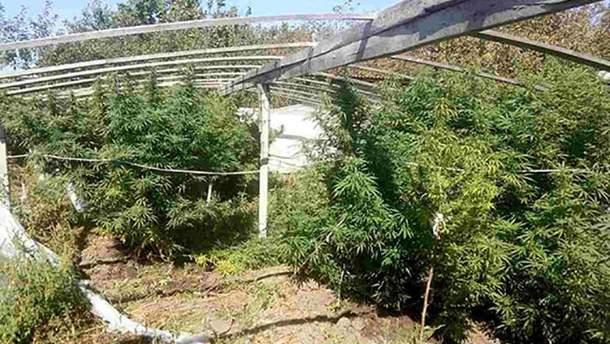 На Херсонщині поліцейські виявили кущі конопель на 1,5 мільйона гривень