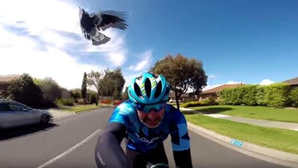 Сорока атакует велосипедиста