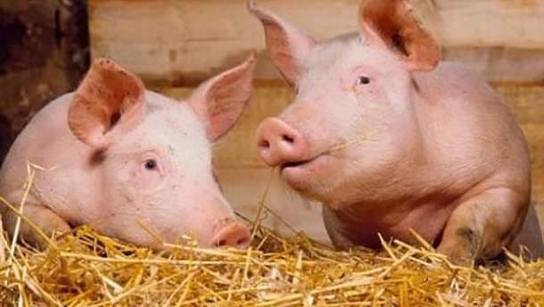 В Львовской области зафиксировали первую вспышку африканской чумы свиней