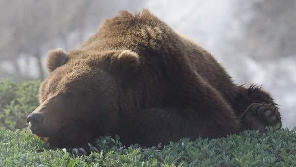 Медведь (иллюстрация)