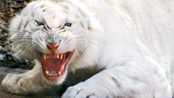 Белые тигры напали на охранника в индийском парке