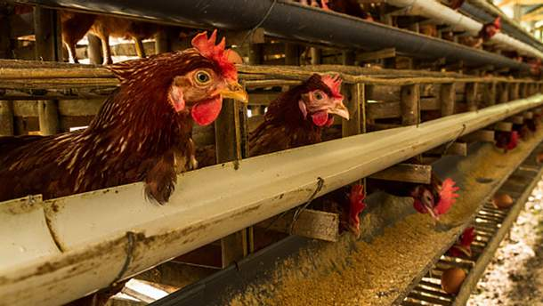 В Японии вывели ГМО-кур