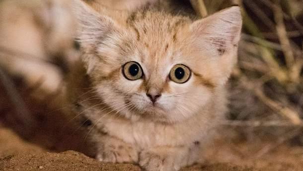 Котенок барханной кошки
