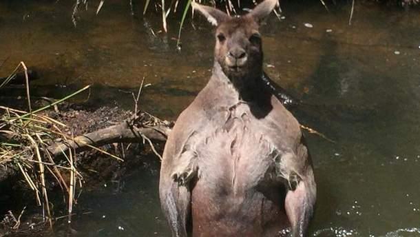 Мускулистый кенгуру из Австралии
