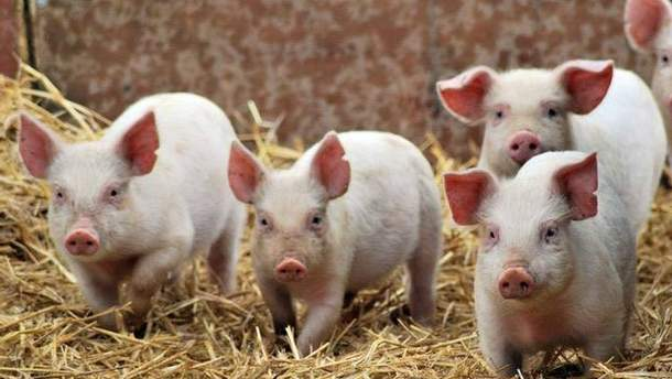 Африканская чума свиней распространилась еще на 4 области Украины