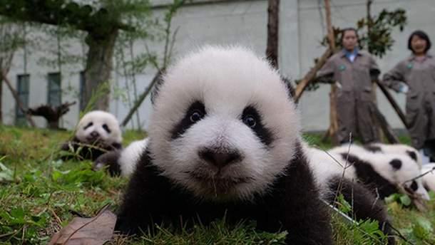 Новородженная панда