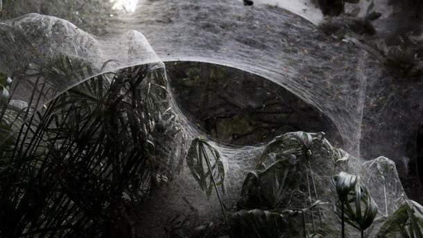 Павуки огорнули павутиною цілий ліс в Ізраїлі