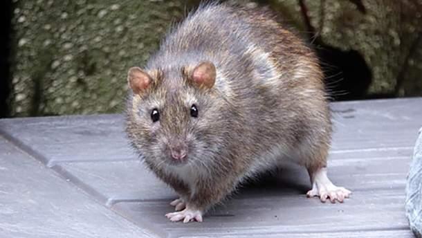 Крыса проехалась в вагоне метро в Нью-Йорке и вызвала панику