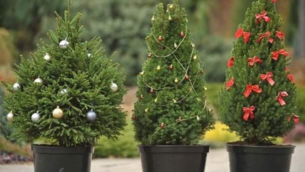 Где купить живую елку на Новый год 2018 в Украине: торговые точки