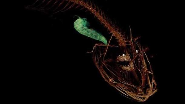 Так виглядає Pseudoliparis swirei