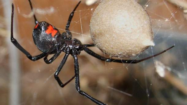 """""""Дождь"""" из смертельных пауков прошел в Австралии"""