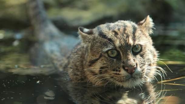 Кошка-рыболов