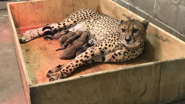 У США гепард народила рекордну кількість малюків