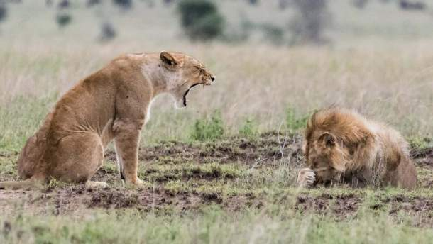 Ссора львов