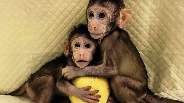 Клонированные обезьянки