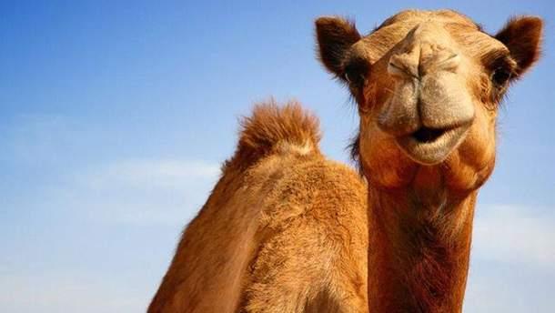 Верблюд затоптал мужчину в России