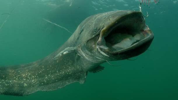 Гигантского сома рыбаки поймали у Черкасс