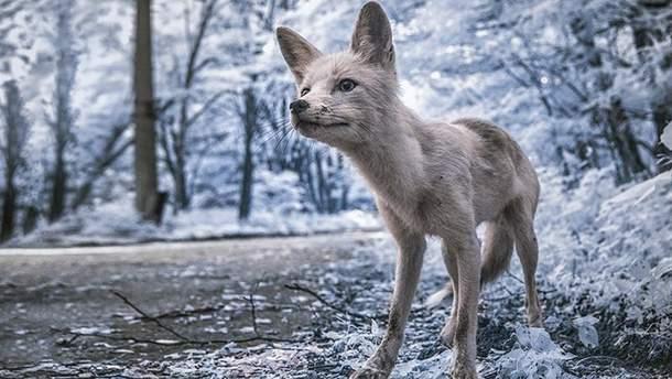 Лисиця у Чорнобильській зоні