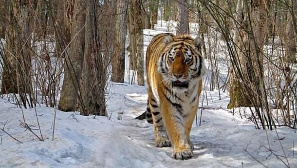 Сибирская тигрица добровольно пришла к людям