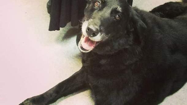 Зниклий собака Еббі