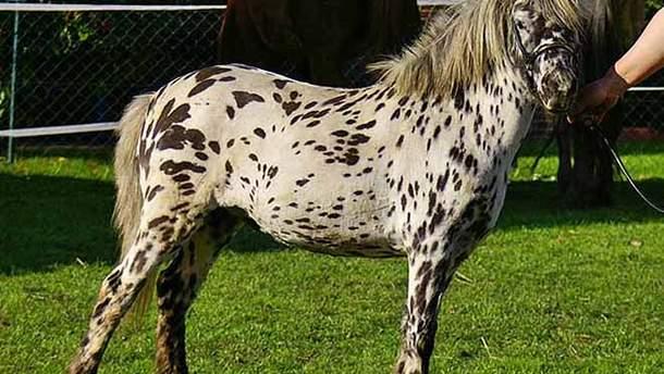 Американская мини-лошадь