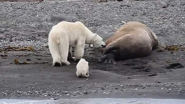 Белая медведица хотела полакомиться сонным моржом, но тот внезапно проснулся