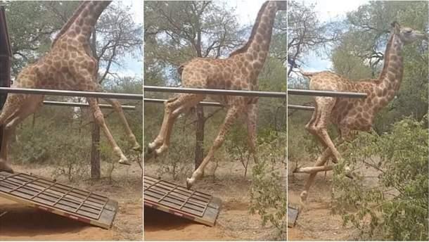 Счастливых жирафов впервые выпустили на волю: невероятное видео