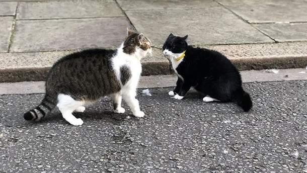 Драка кота Ларри с котом Палмерстоном
