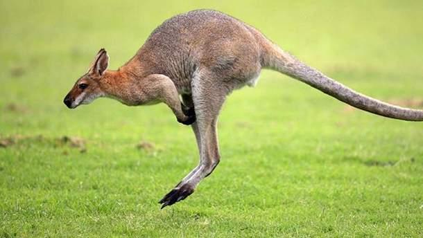 В Австралии кенгуру сломал челюсть охотнику