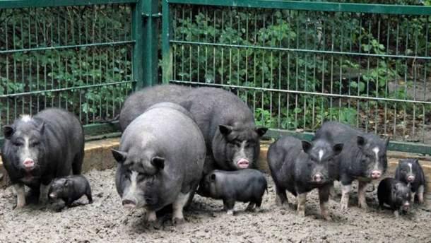 У Миколаївські області свині з'їли чоловіка