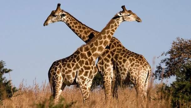 Жирафа мужньо вистояла в боротьбі проти крокодила
