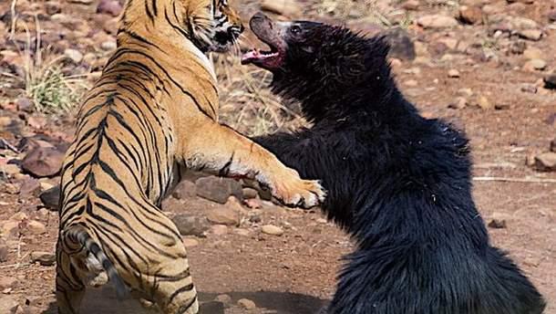 Туристи зняли на відео сутичку тигра з ведмедем: