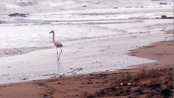 Фламінго на пляжі в Феодосії