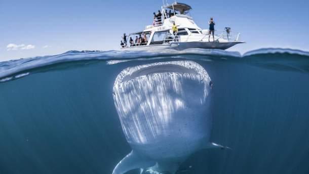 Гігантська китова акула підпливла під катер з туристами